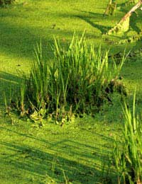 Algae Fuel: Can Pond Weed Really Help Wean Us Off Fossils Fuels?